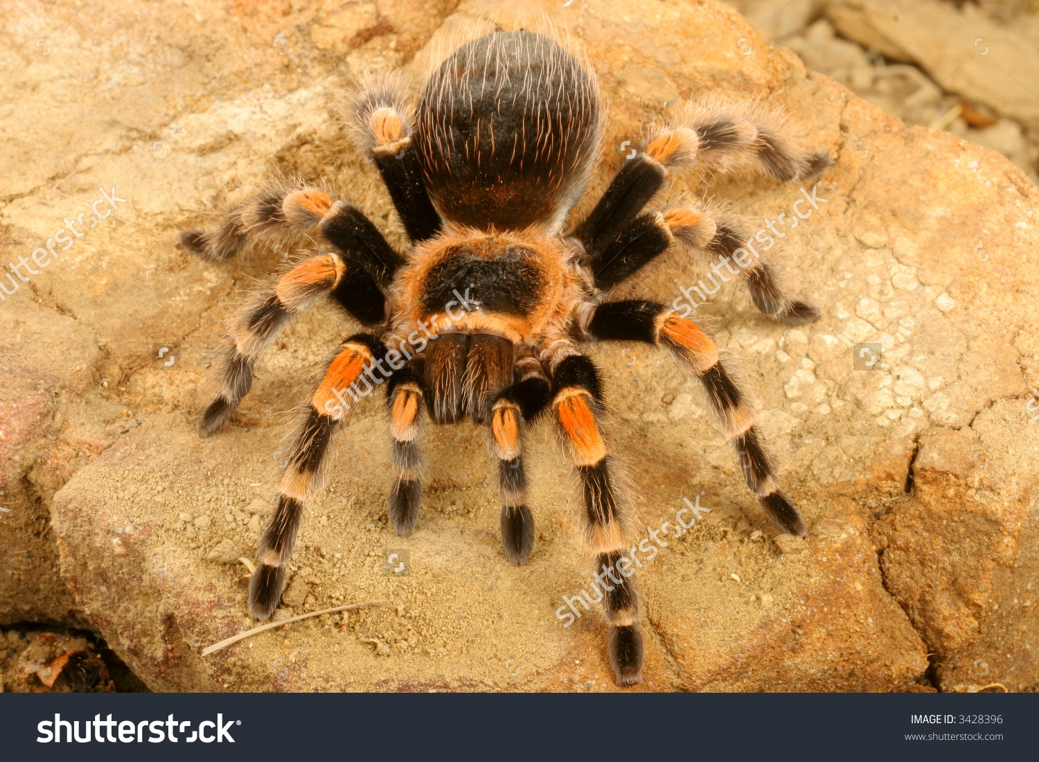 Mexican Redknee Tarantula Brachypelma Smithi Stock Photo 3428396.