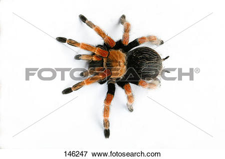 Picture of Mexican redknee tarantula / Brachypelma smithi 146247.