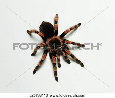 Stock Photo of Mexican redknee tarantula (Brachypelma smithi.