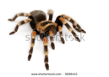 Mexican Redknee Tarantula Brachypelma Smithi Spider Stock Photo.