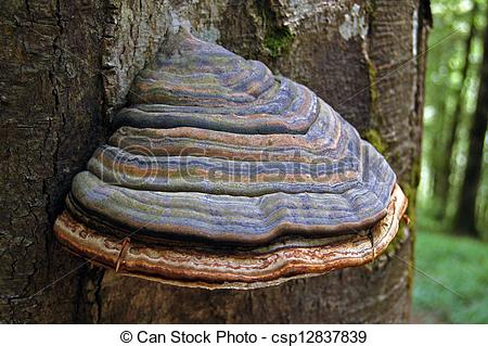 Stock Photos of Bracket fungus.