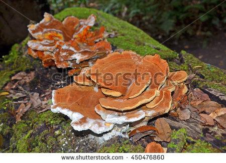 Shelf Fungi Stock Photos, Royalty.