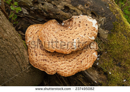 Bracket Fungi Stock Photos, Royalty.