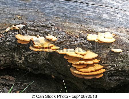 Stock Photography of Bracket Fungus on rotting pine log.