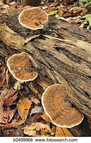 Pictures of Bracket fungi k0499968.