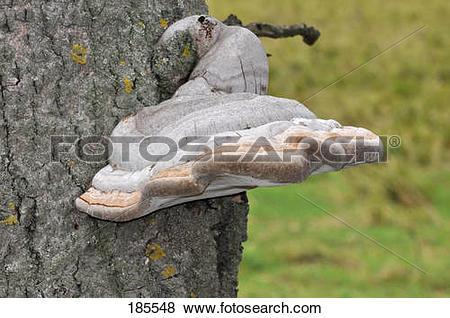 Pictures of Willow Bracket Fungus (Phellinus igniarius). Fruiting.