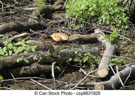 Stock Photographs of Honeycomb Bracket Fungus.
