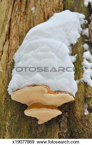 Stock Photograph of Bracket Fungus x19077869.