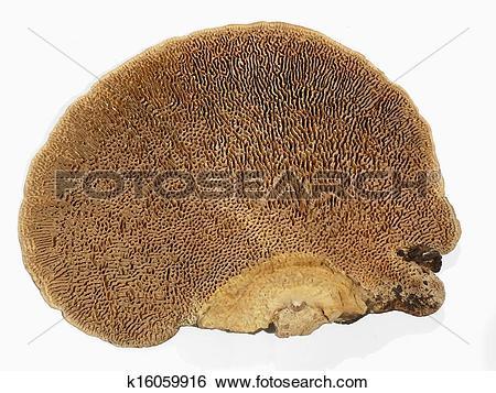 Stock Images of Underside of daedalea quercina bracket fungi.
