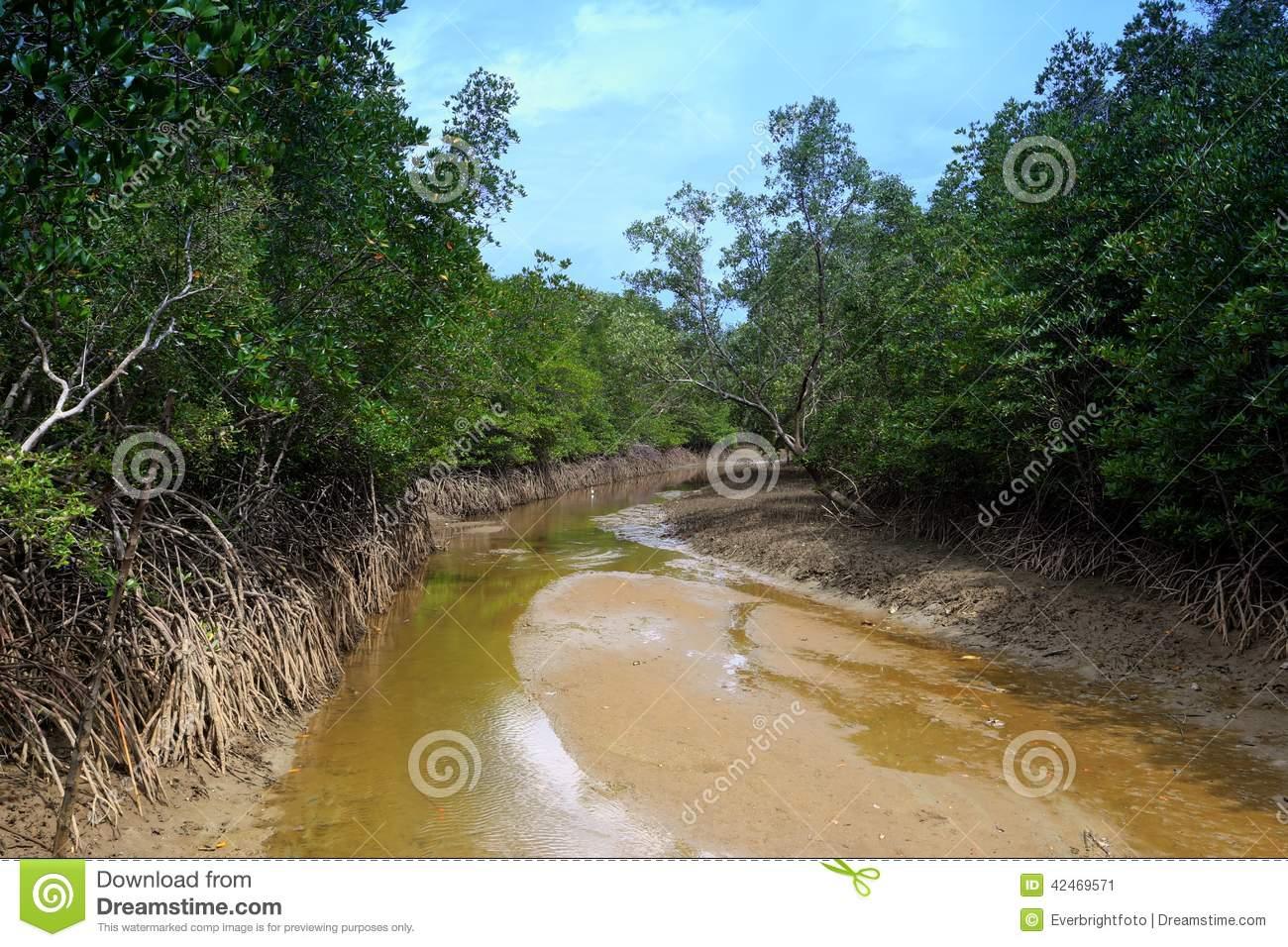 Mangrove Stream Habitat Stock Photo.