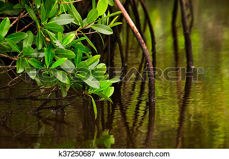 Picture of Red Mangroves in calm water k37250687.
