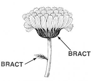 Bract 2 Clip Art Download.