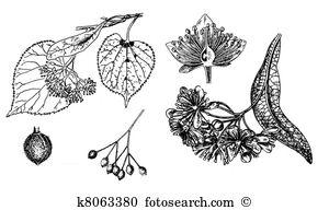 Bract Clip Art Illustrations. 8 bract clipart EPS vector drawings.