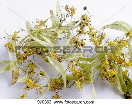 Stock Photo of Lime flowers and bracts 970363.