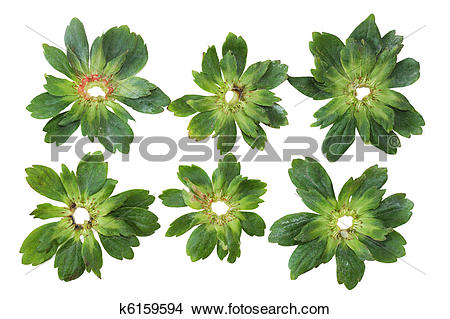 Stock Photo of Strawberry Bracts k6159594.