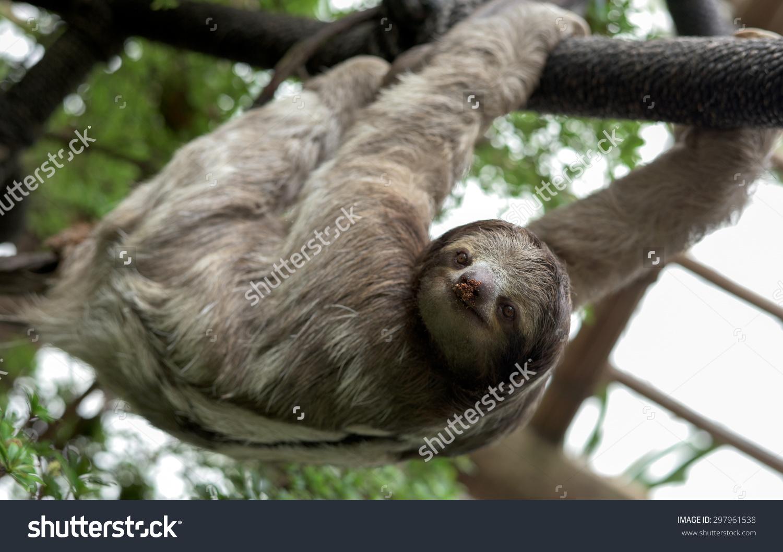 Threetoed Sloth Family Bradypodidae Hanging Rope Stock Photo.
