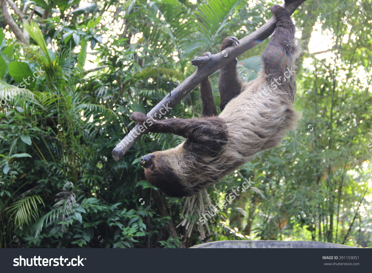 Threetoed Sloth Bradypodidae Stock Photo 391159051.