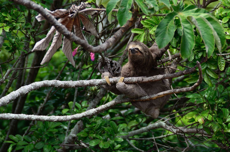 Free photo Pygmy Sloth Three Toed Sloth Sloth Bradypus Pygmaeus.
