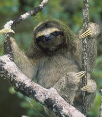 1000+ ideas about Are Sloths Endangered on Pinterest.