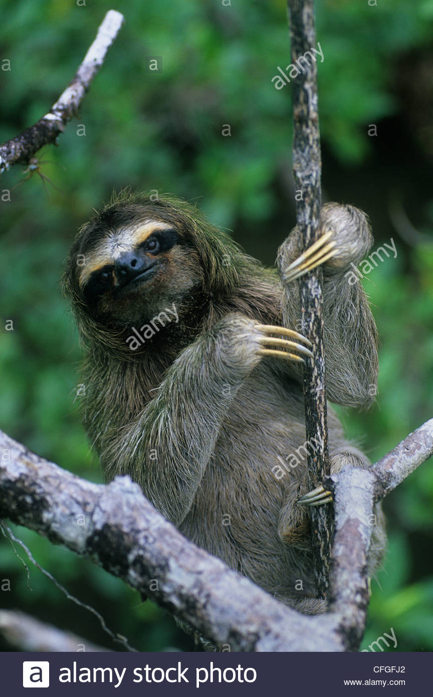 A Three Toed Pygmy Sloth, Bradypus Pygmaeus, In A Mangrove Tree.
