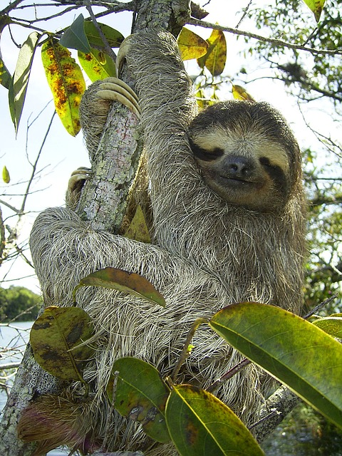 More Pygmy Sloths in Panama.