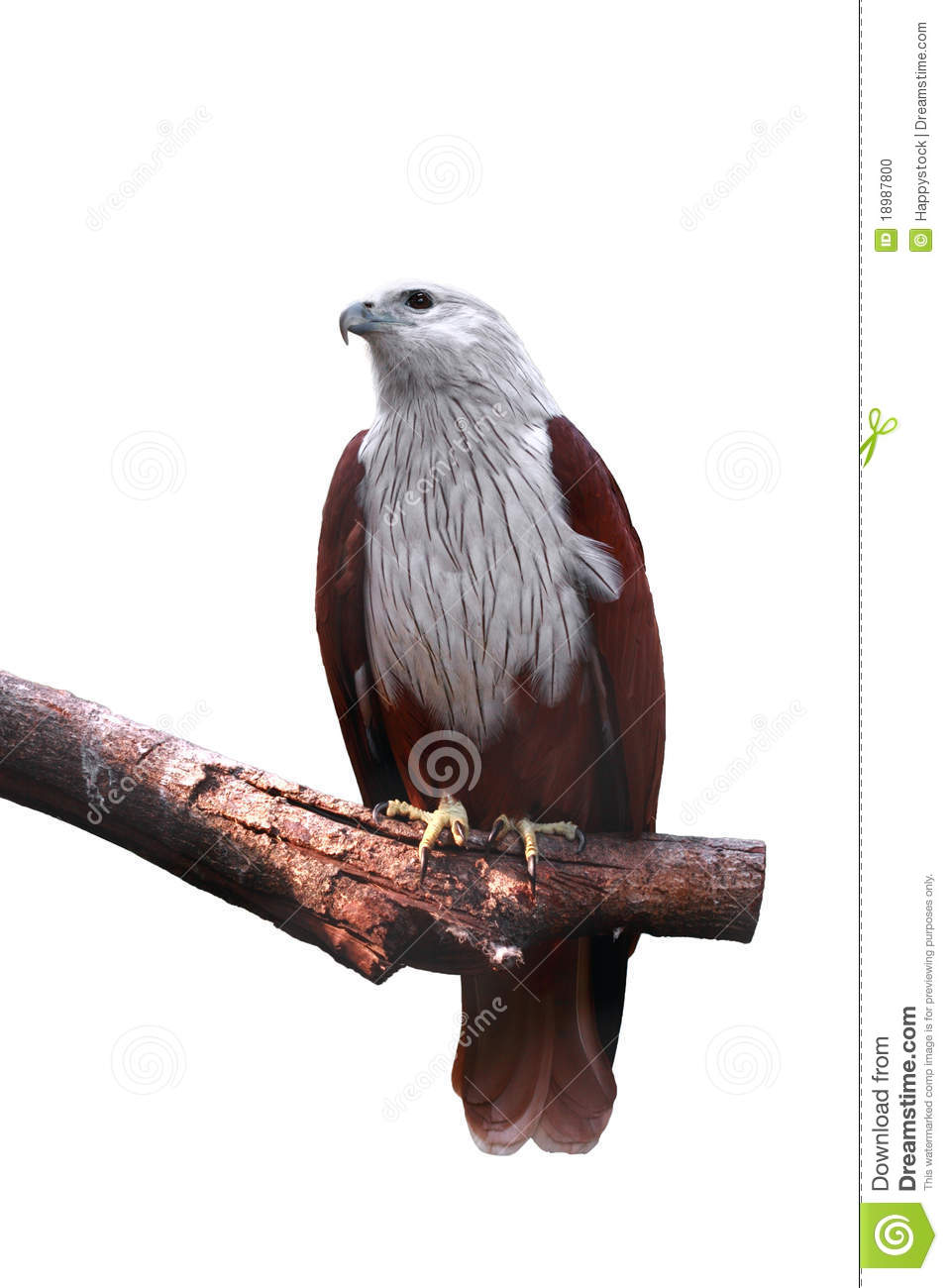 Brahminy Kite Stock Photo.