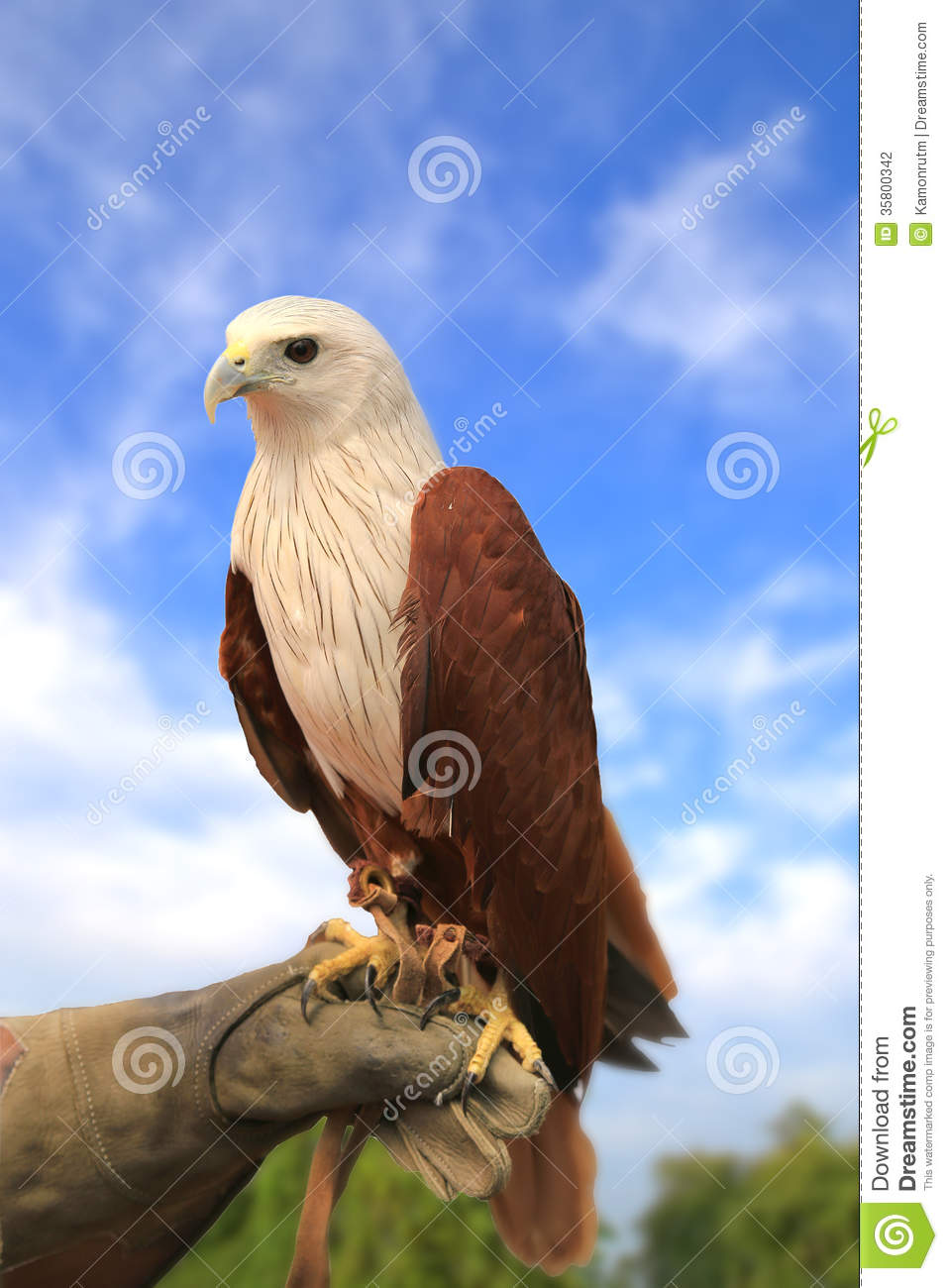 Brahminy Kite ,Red.