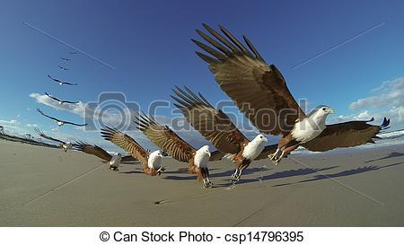 Stock Photographs of Brahminy kite Haliastur indus swooping on.