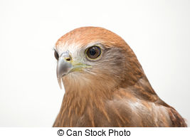 Picture of Young Brahminy Kite , Red.