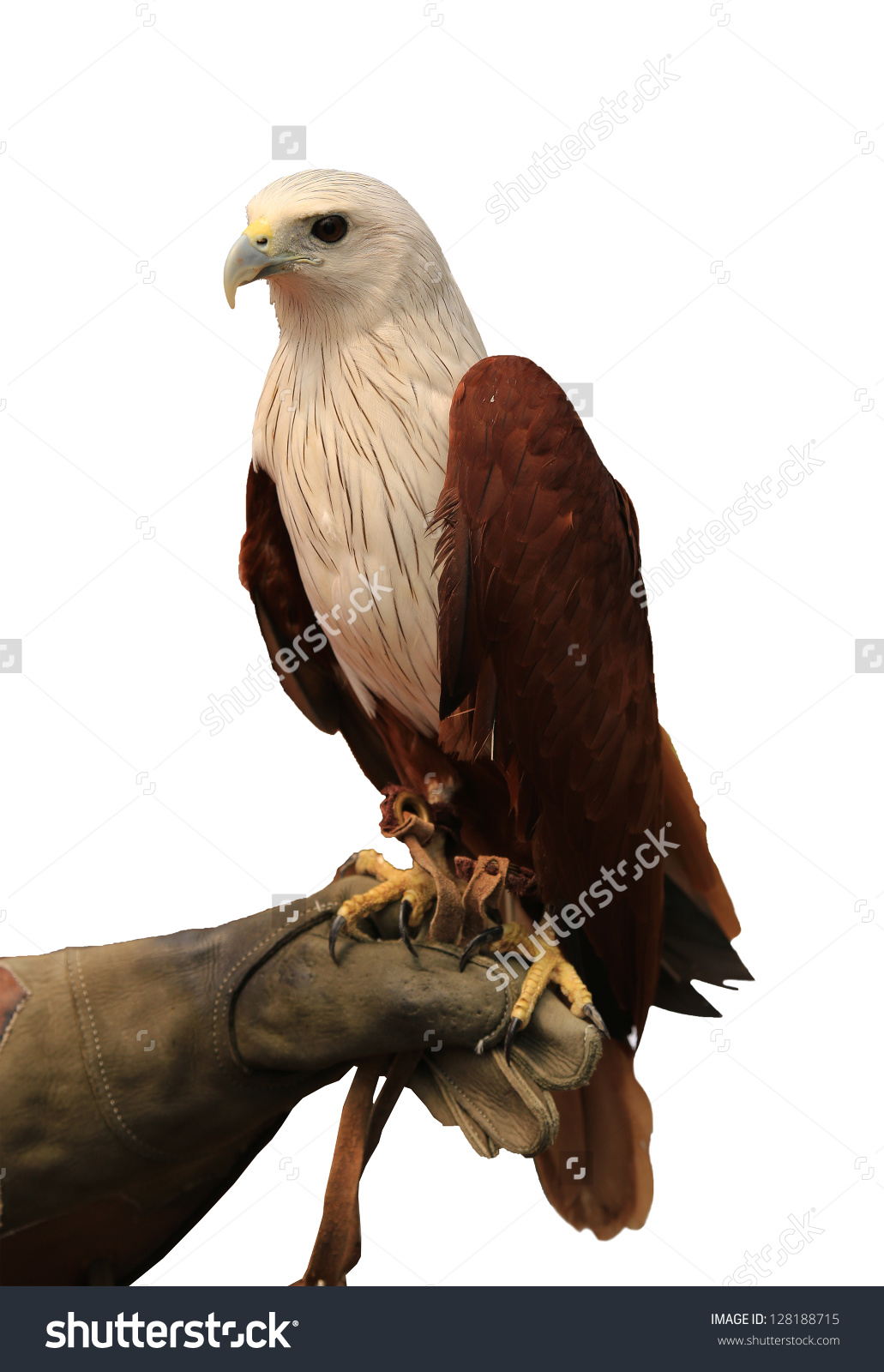 Brahminy Kite Redbacked Sea Eagle Stand Stock Photo 128188715.