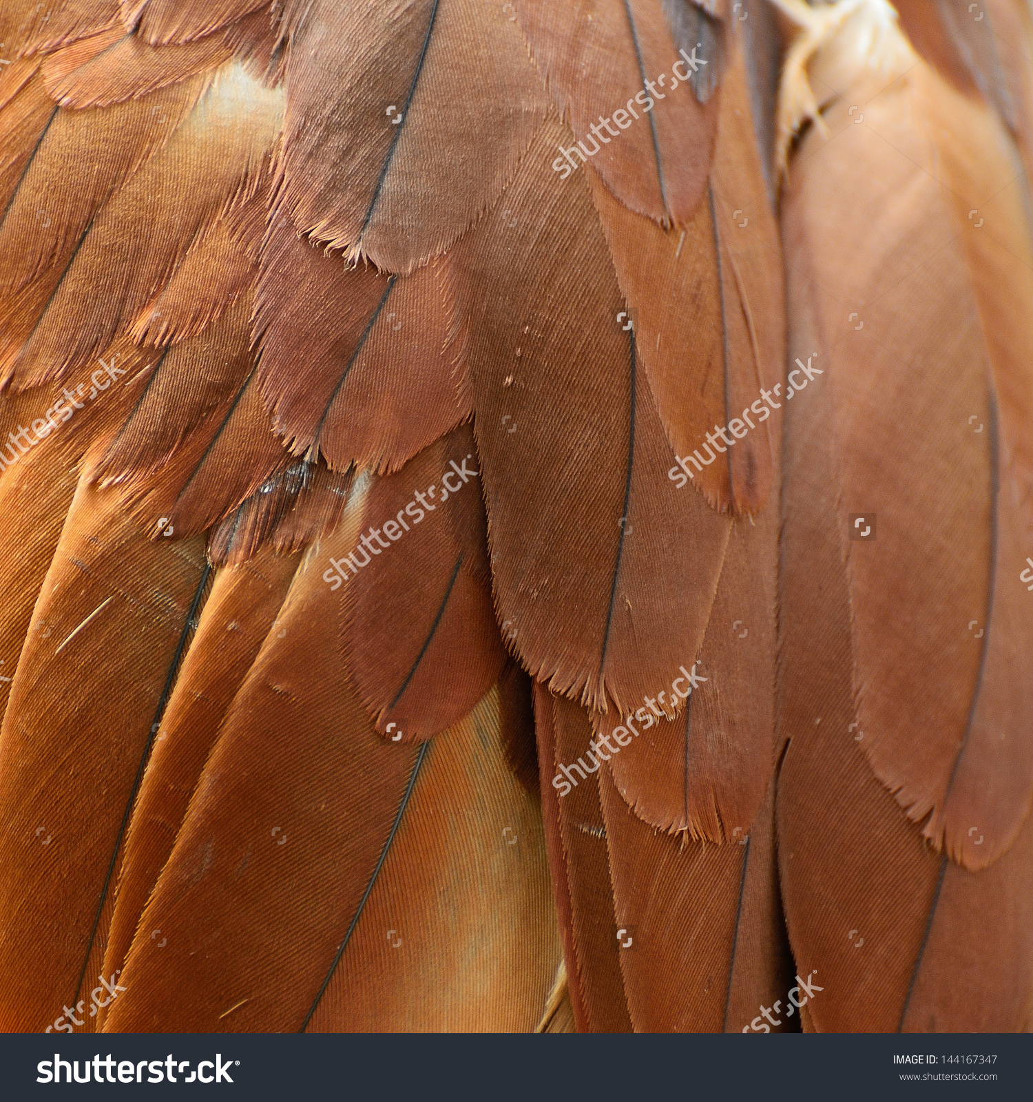 Brahminy Kite (Haliastur Indus) Feather Stock Photo 144167347.