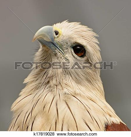 Pictures of Brahminy Kite k17819028.