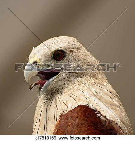 Stock Images of Brahminy Kite k17818156.