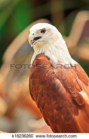 Stock Photography of Close up Brahminy Kite (Haliastur indus) Red.