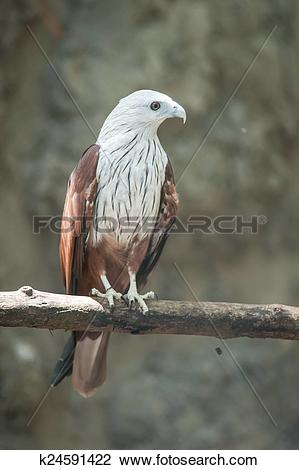Stock Photo of Brahminy Kite (Red.