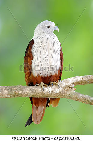 Stock Photo of Brahminy Kite Red backed sea eagle Haliastur indus.