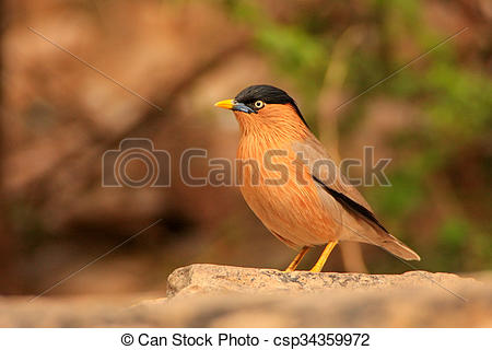 Picture of Brahminy Myna Sturnia pagodarum sitting on a stone.
