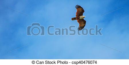 Picture of Brahminy Kite in flight on sky background ( Haliastur.