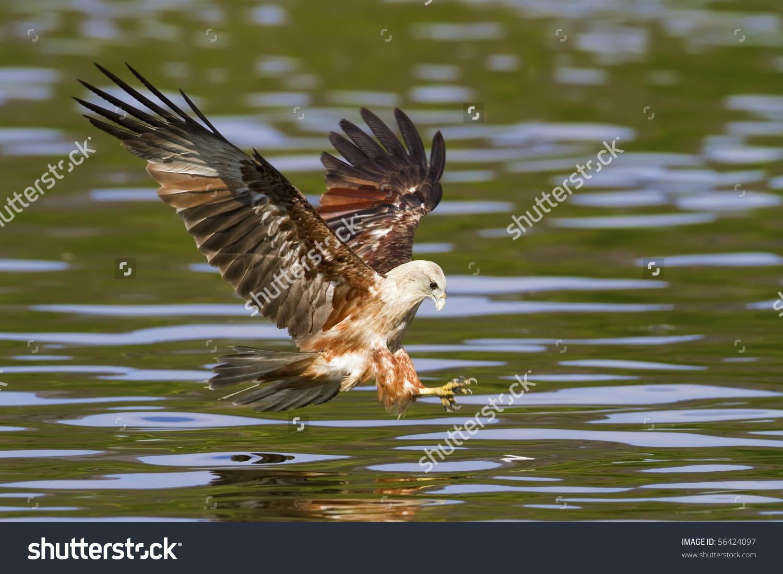 Fishing Brahminy Kite In The Mangroves Stock Photo 56424097.