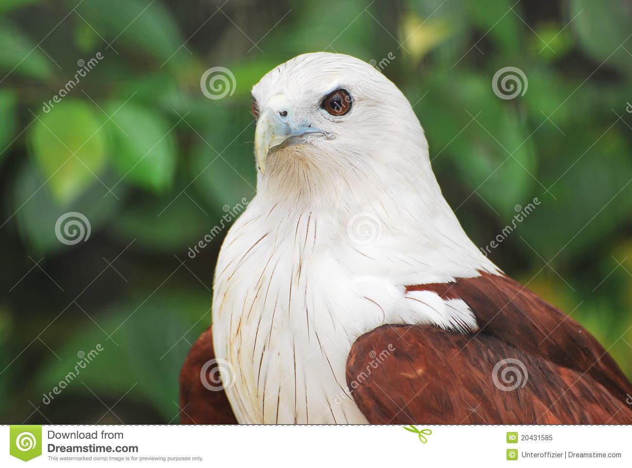 Brahminy Kite Eagle Royalty Free Stock Photo.