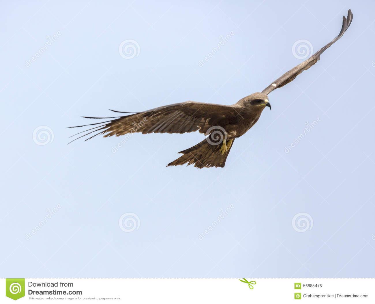 Brahminy Kite (Haliastur Indus) Or Red.