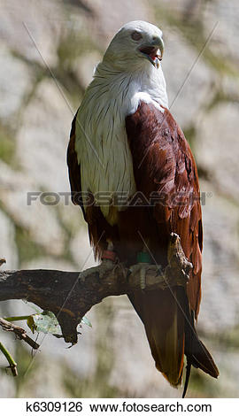 Stock Images of Brahminy Kite k6309126.