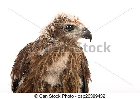 Red-backed sea-eagle clipart #3