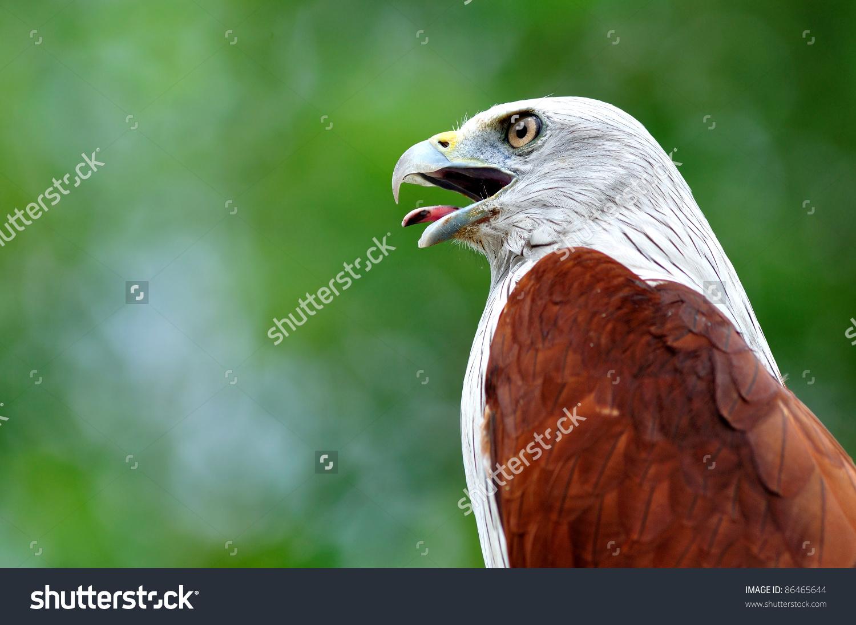 Brahminy Kite Bird From Thailand Stock Photo 86465644 : Shutterstock.