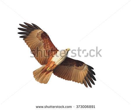 Brahminy Kite Stock Images, Royalty.