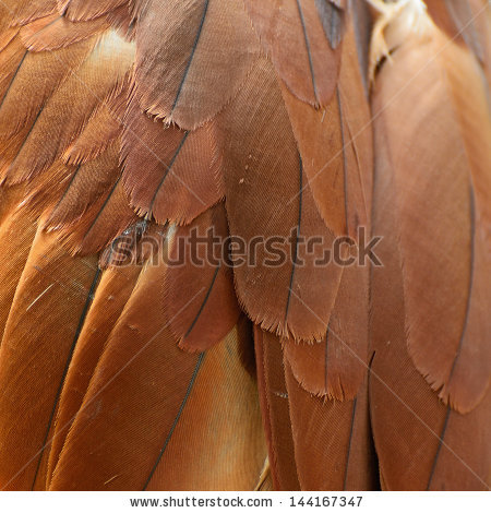 Brahminy Kite (Haliastur Indus) Feather Stock Photo 144167347.