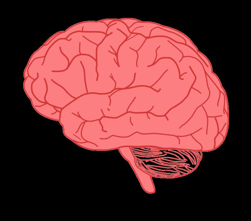 Free Clipart: Brain in profile.