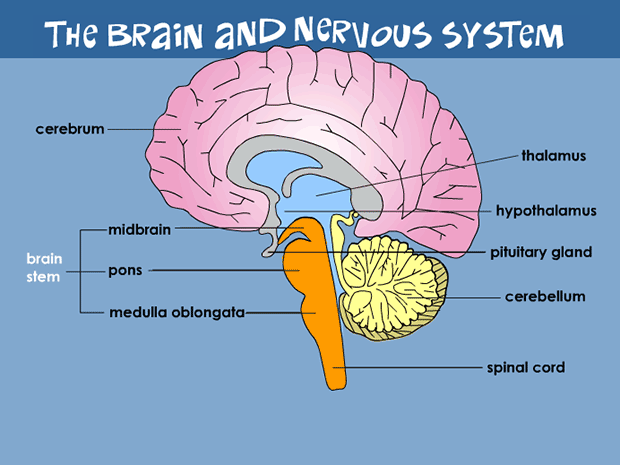Your Brain & Nervous System.