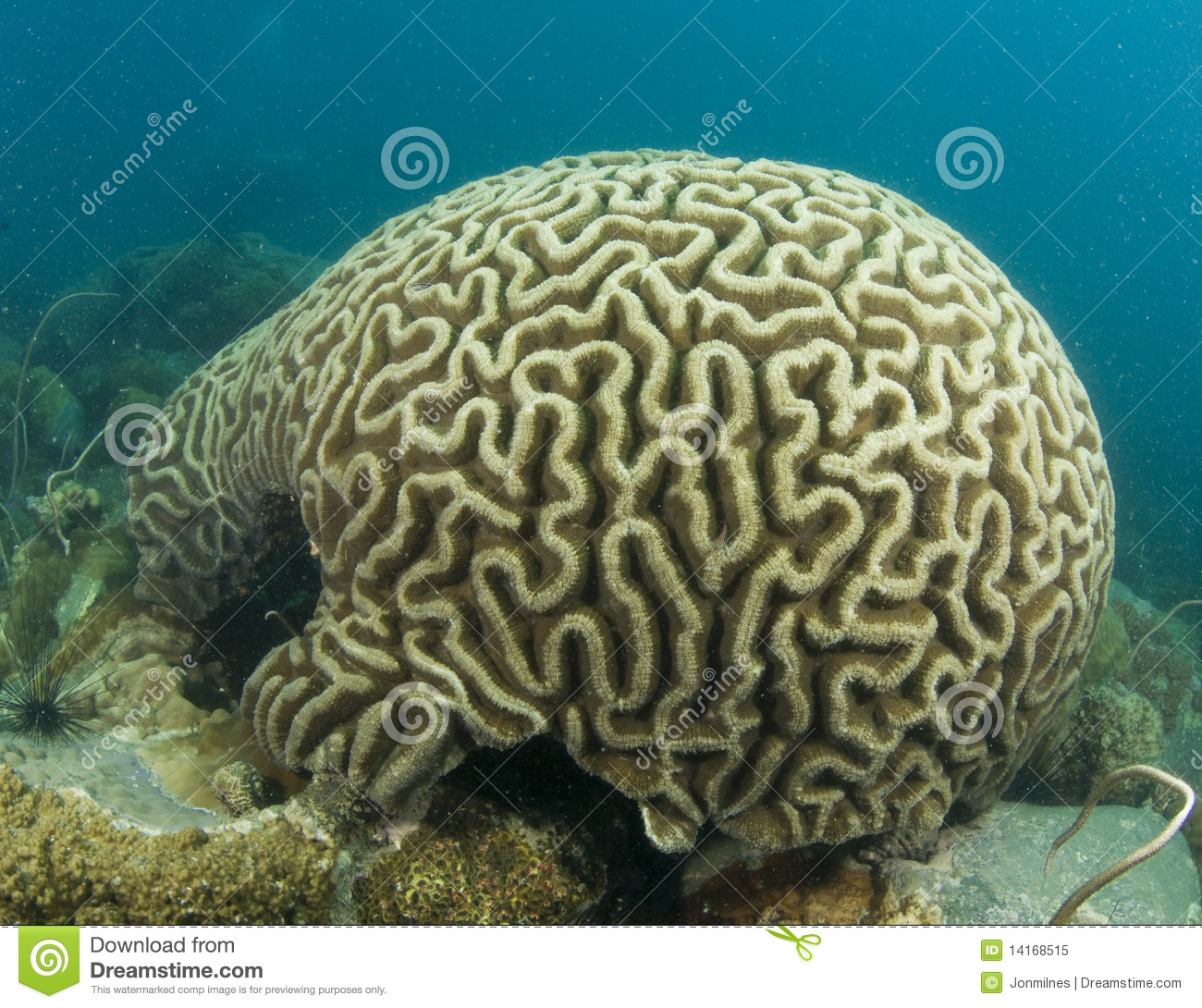 Brain Coral Royalty Free Stock Photo.