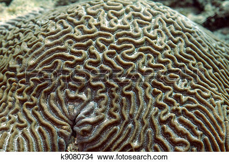 Stock Photo of Close up of the grooves of a brain coral. k9080734.